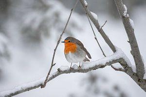 Roodborstje in de sneeuw van