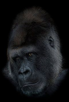 Gorilla silverback van Ron Meijer