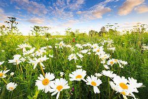 Margriet bloemen bloeien in een mooi bloemen veld in de zomer.