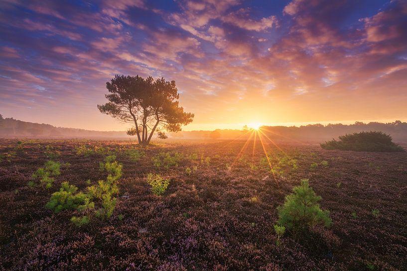 Paarse Heide Hilversum 6 van Albert Dros