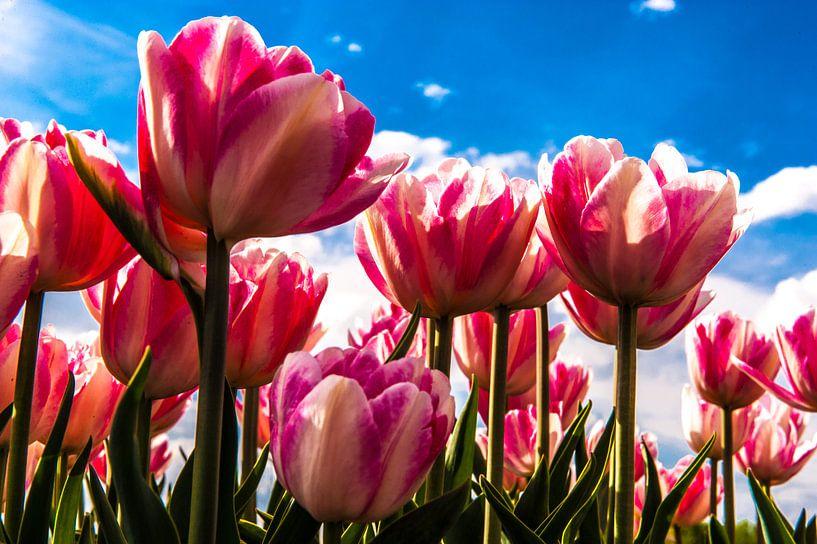 close up tulpen met blauwe achtergrond en wolkenlucht van Brian Morgan