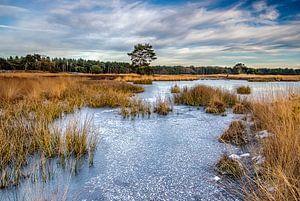 Bevroren Langven op de Sonse Heide, Nederland