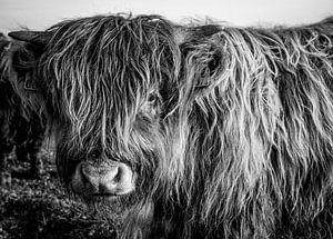 Schottisches Highlander-Kalb