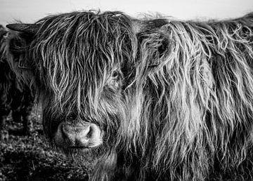 Schottisches Highlander-Kalb von Amber van der Velden