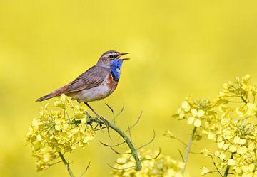 Singender männlicher Blaukehlchen (Luscinia svecica) von Beschermingswerk voor aan uw muur