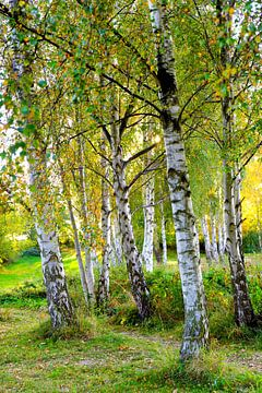 Herbstbirken van Ostsee Bilder
