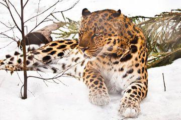 Ernster direkter Blick eines Leoparden aus der Dunkelheit, Vollgesichtsporträt in Nahaufnahme symmet von Michael Semenov