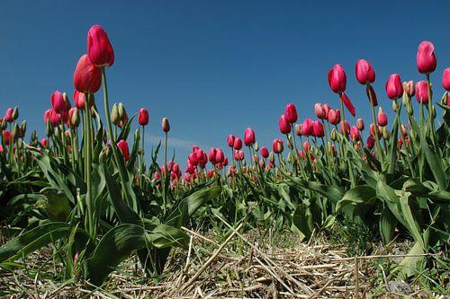 Tulpen uit Amsterdam, maar deze groeien op Texel!