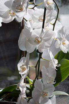 Orchideeën van Rijk van de Kaa