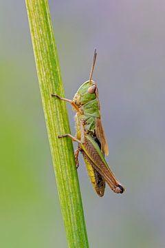 Meadow Grasshopper ( Chorthippus parallelus ) resting on a grass stem, detailed close-up, clean back van wunderbare Erde