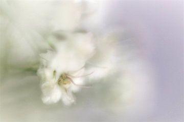 Gypsophila von Nel Bijl