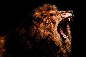 lion male roaring