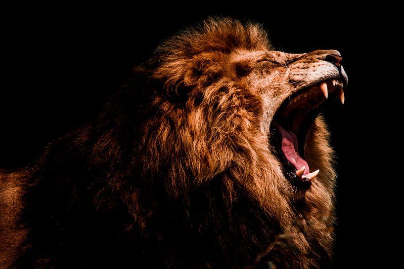 lion male roaring von nathalie Peters Koopmans