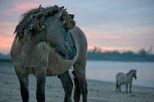 Konikpaarden aan de rivier de Waal, Ooijpolder van