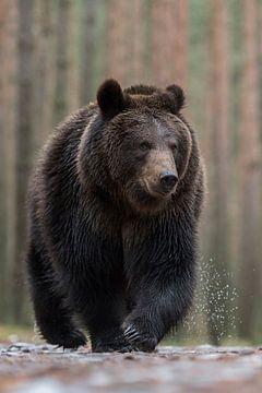 Beer ( Ursus arctos ), Europese bruine beer loopt direct naar de fotografen toe. van wunderbare Erde