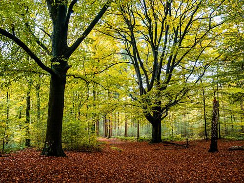 Grote bomen in bos