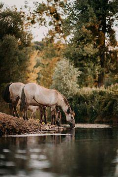 Drinkend Konik paard aan rivier in natuurgebied van Yvette Baur