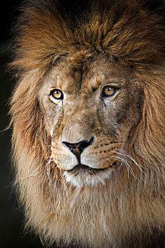 Männlicher Löwe von Paul Jespers