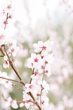 Bloesempracht I | Bloesem | Bloem | Roze | Lente | Natuur van Mirjam Broekhof