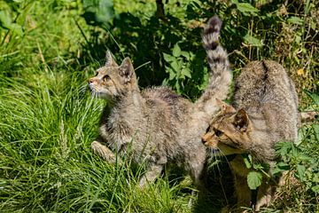 Wilde katten op jacht van
