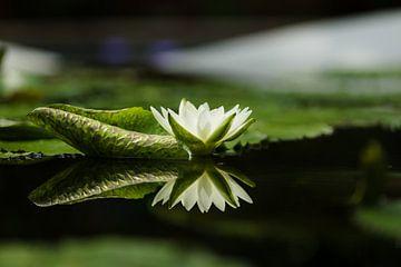 Lotus sur Schram Fotografie
