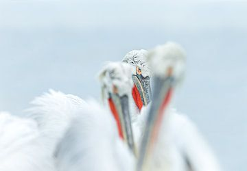 Das Auge des Pelikans von Gladys Klip