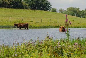 Twee Schotse Hooglanders