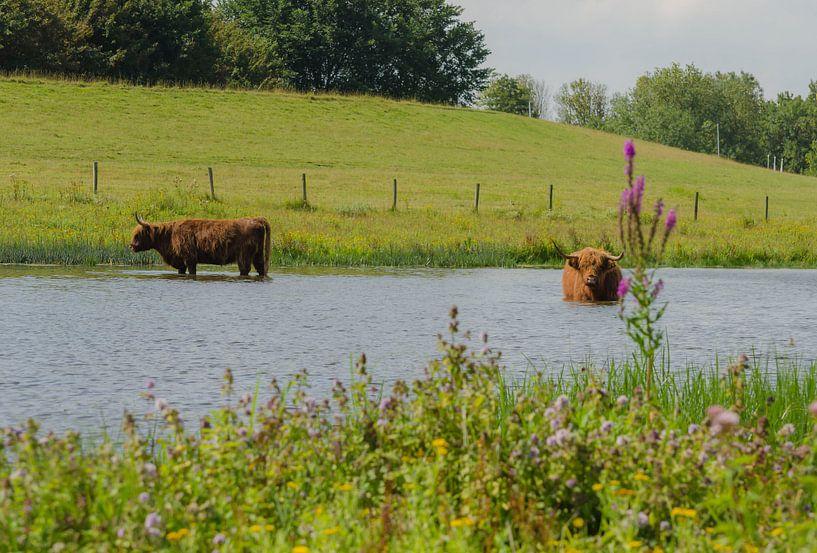 Twee Schotse Hooglanders van Ans Bastiaanssen