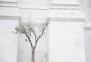Olijfboom, Olive tree, Olivo van Sense Photography