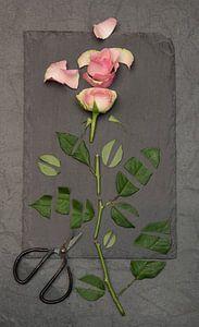 Roos .... Stilte.... van Vincent Willems