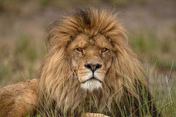 Erwachsener männlicher Löwe (Panthera leo), der sich im Gras ausruht von Nature in Stock