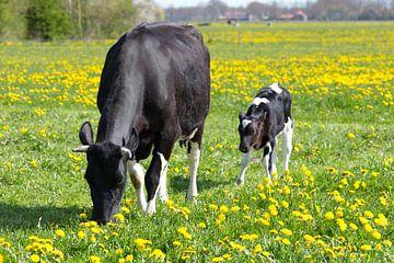 Moeder koe met pasgeboren kalf in wei met paardenbloemenen van Ben Schonewille