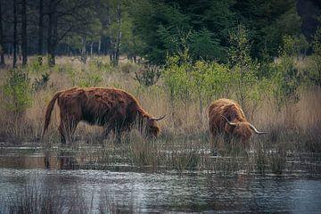 Schottischer Highlander im Wasser
