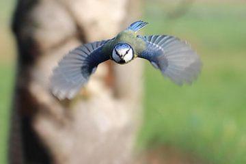 Blaumeise im Flug von Ronny Struyf