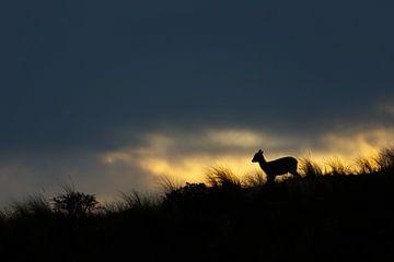 Fallow Deer @ Sunset sur Pim Leijen