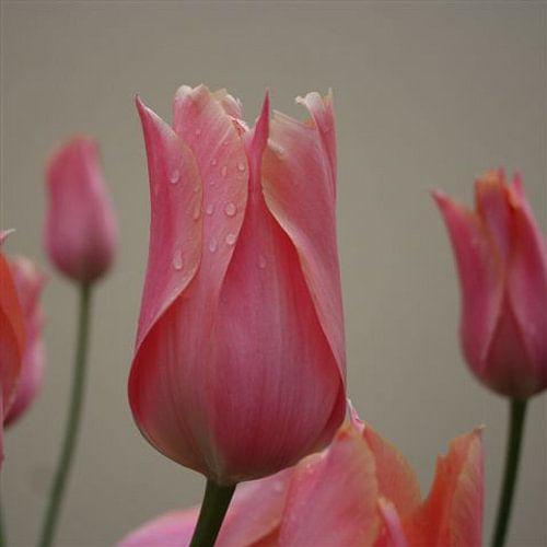 Tulp upclose van