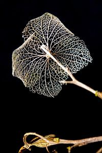 Fragiel skelet van bladnerven, vergankelijkheid