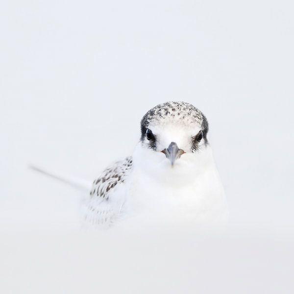 Australian Fairy Tern, Sternula nereis van AGAMI Photo Agency