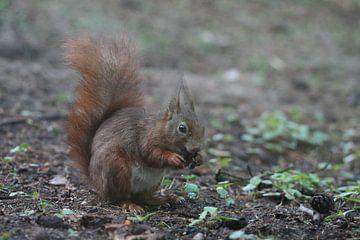 eekhoorn van Barry van Strien