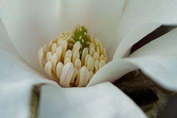 Magnolia 3 von José Verstegen