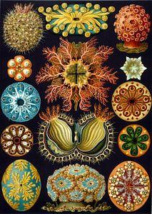 Ascidian, Ernst Haeckel