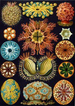 Ascidian, Ernst Haeckel van Meesterlijcke Meesters