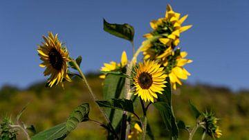 Sonnenblumen in Deutschland von Marjon Boerman