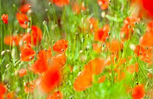 Poppies van