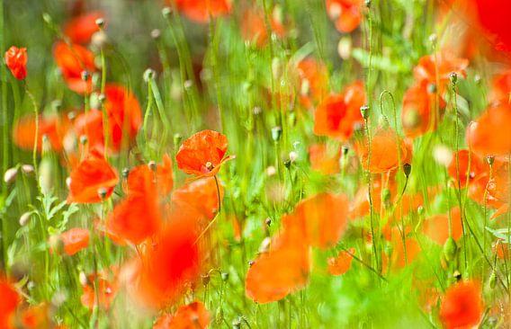 Poppies van Dalex Photography