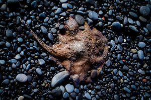 Rochen am Strand mit Kieselsteinen von Johan Schouls
