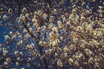 Bloesems wit 01 van FotoDennis.com