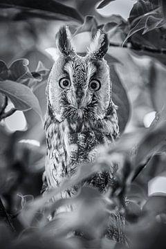 Erstaunliche Langohr-Eule zwischen den Blättern. von Wout Kok