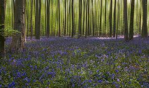 Het blauwe tapijt van het Hallerbos