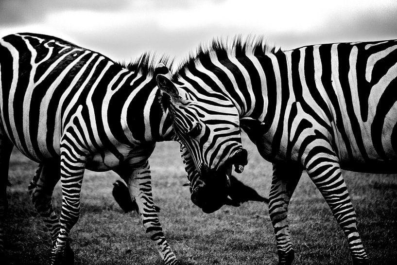 Zebra, Afrika, Safari van Roger VDB